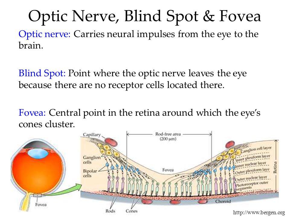 Optic Nerve, Blind Spot & Fovea http://www.bergen.org Optic nerve: Carries neural impulses from the eye to the brain. Blind Spot: Point where the opti
