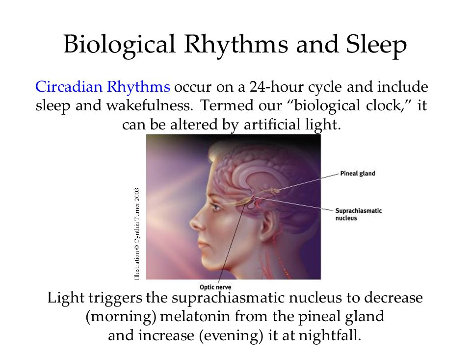 """Biological Rhythms and Sleep Circadian Rhythms occur on a 24-hour cycle and include sleep and wakefulness. Termed our """"biological clock,"""" it can be al"""