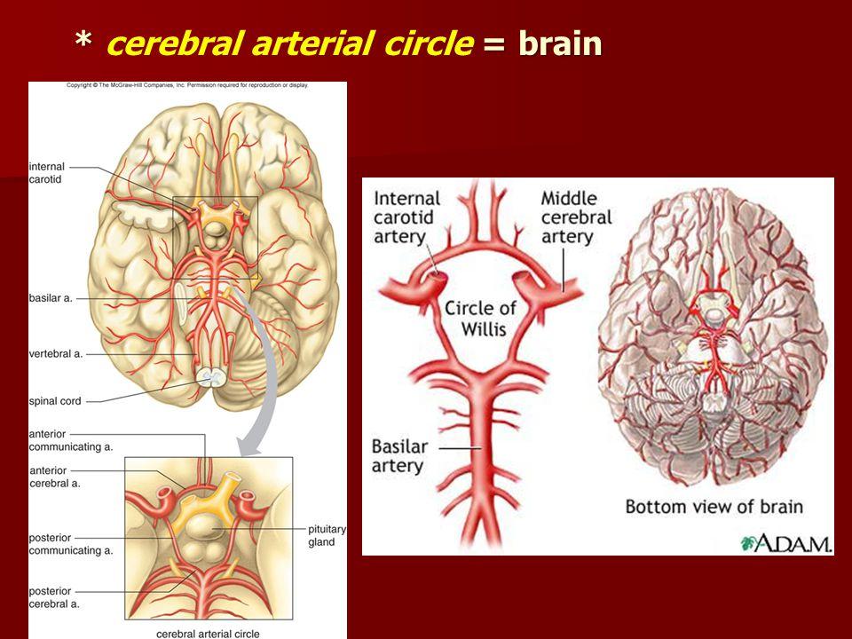 * = brain * cerebral arterial circle = brain