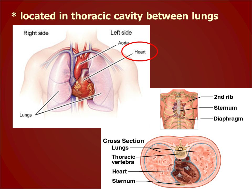 * located in thoracic cavity between lungs