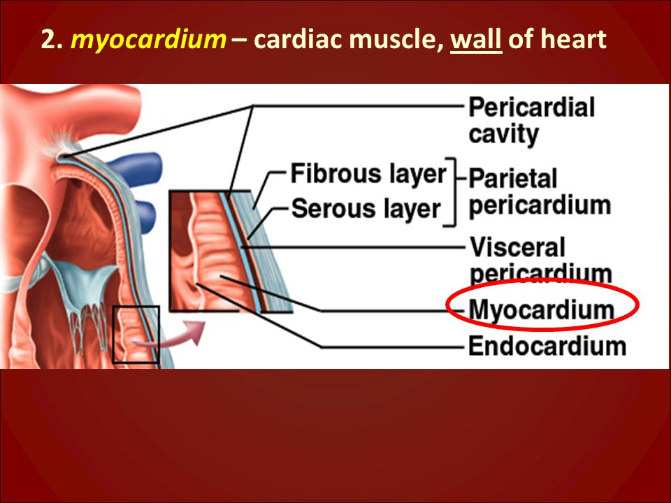 2. myocardium – cardiac muscle, wall of heart
