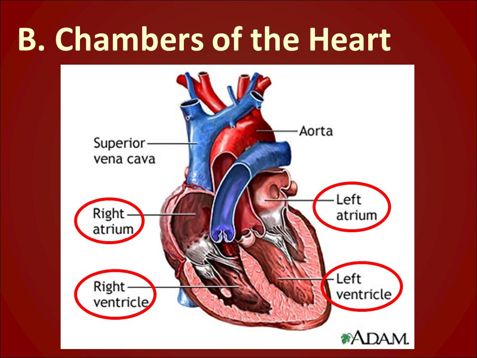 B. Chambers of the Heart