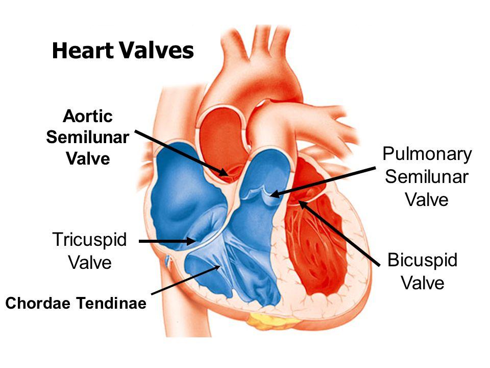 Tricuspid Valve Bicuspid Valve Pulmonary Semilunar Valve Aortic Semilunar Valve Chordae Tendinae Heart Valves