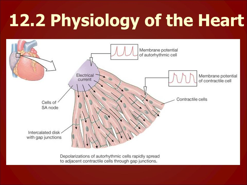 12.2 Physiology of the Heart