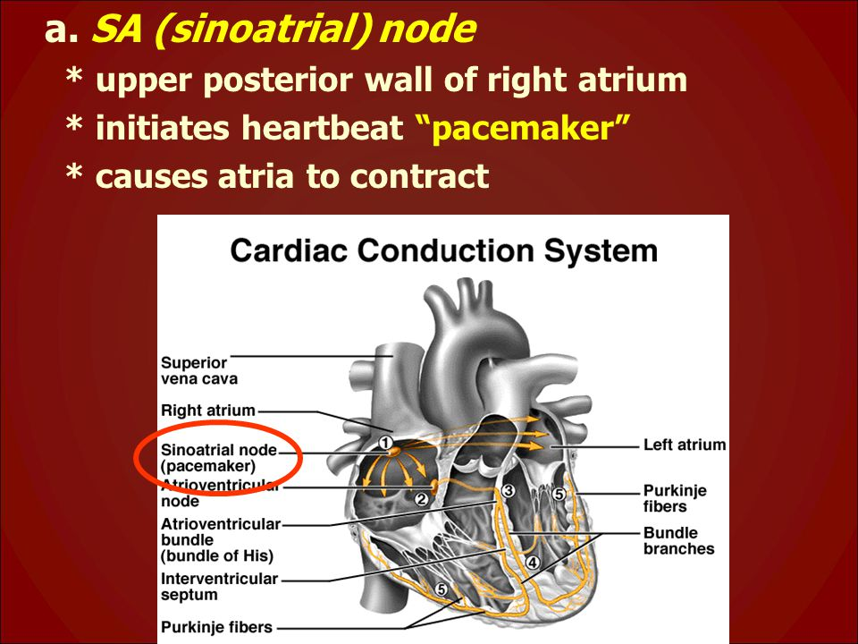 """a. SA (sinoatrial) node * upper posterior wall of right atrium * initiates heartbeat """"pacemaker"""" * causes atria to contract"""