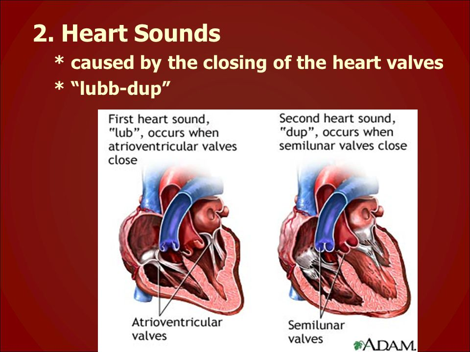 2. Heart Sounds * caused by the closing of the heart valves * lubb-dup