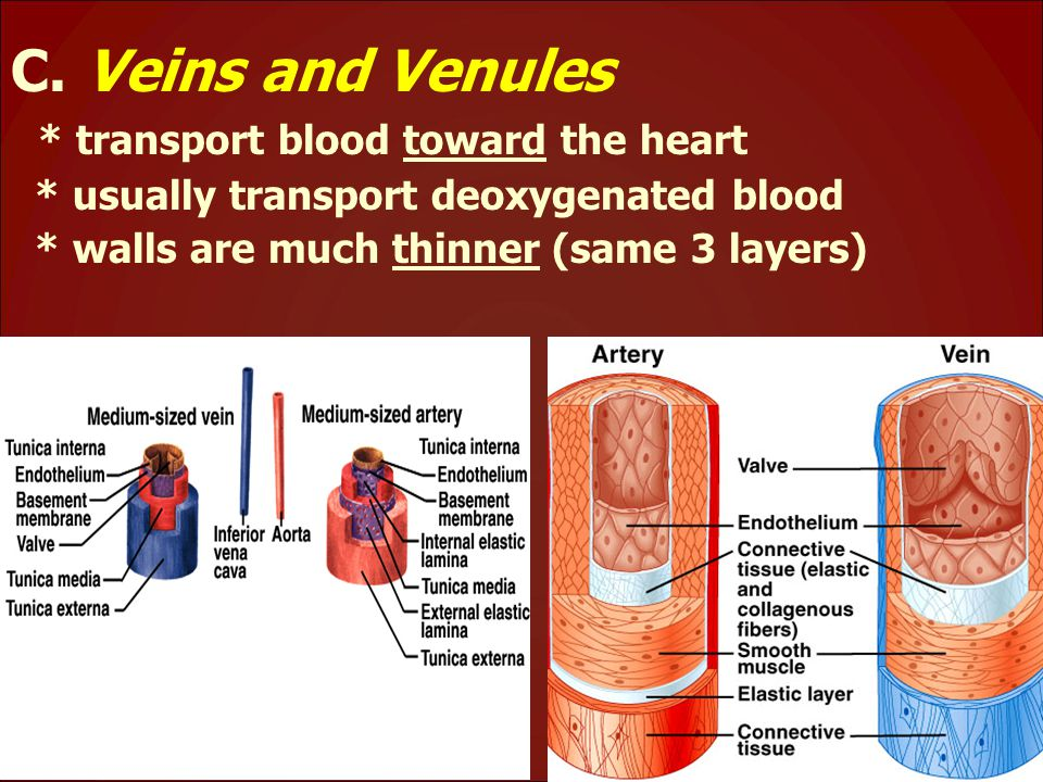 C. Veins and Venules * transport blood toward the heart * usually transport deoxygenated blood * walls are much thinner (same 3 layers)