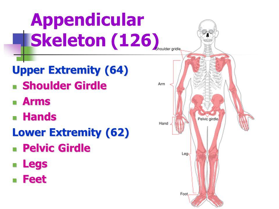 Appendicular Skeleton (126) Upper Extremity (64) Shoulder Girdle Shoulder Girdle Arms Arms Hands Hands Lower Extremity (62) Pelvic Girdle Pelvic Girdl