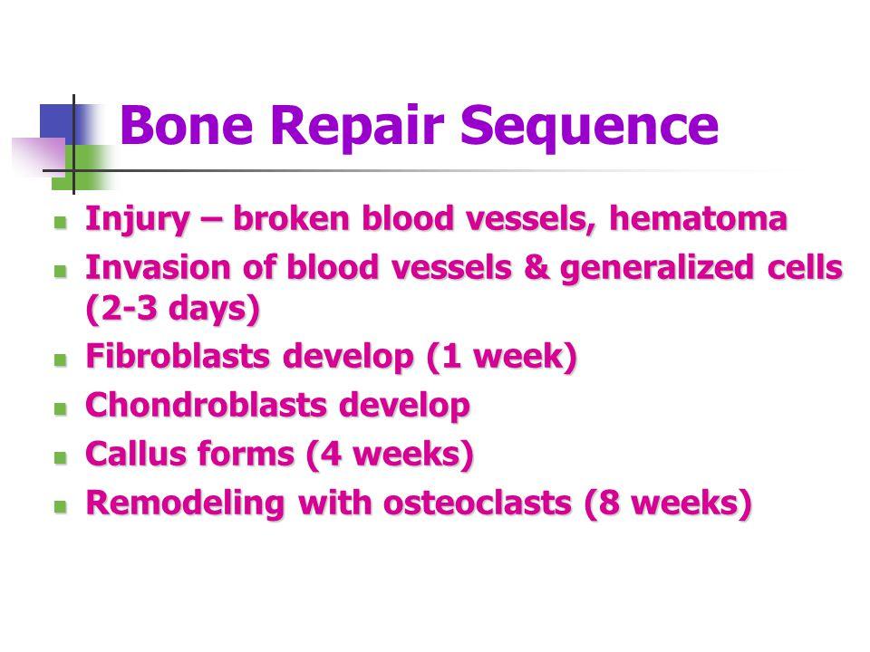 Bone Repair Sequence Injury – broken blood vessels, hematoma Injury – broken blood vessels, hematoma Invasion of blood vessels & generalized cells (2-