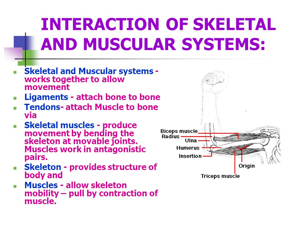 INTERACTION OF SKELETAL AND MUSCULAR SYSTEMS: Skeletal and Muscular systems - works together to allow movement Ligaments - attach bone to bone Tendons