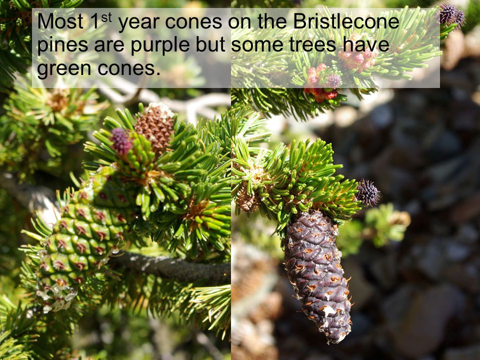 Most 1 st year cones on the Bristlecone pines are purple but some trees have green cones.