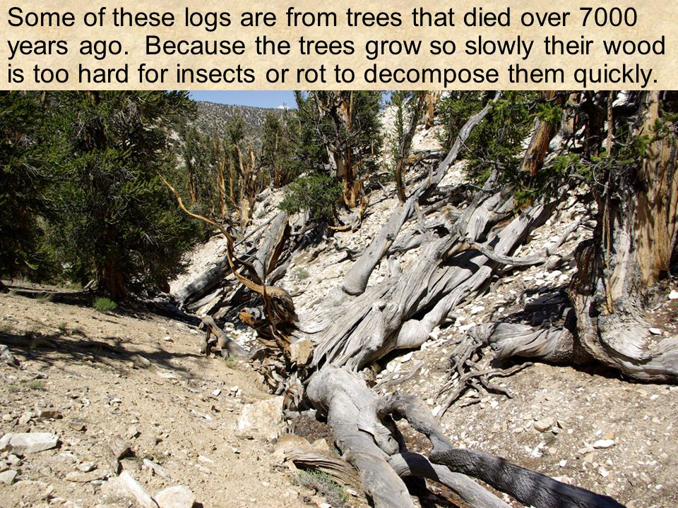 Some of these logs are from trees that died over 7000 years ago.