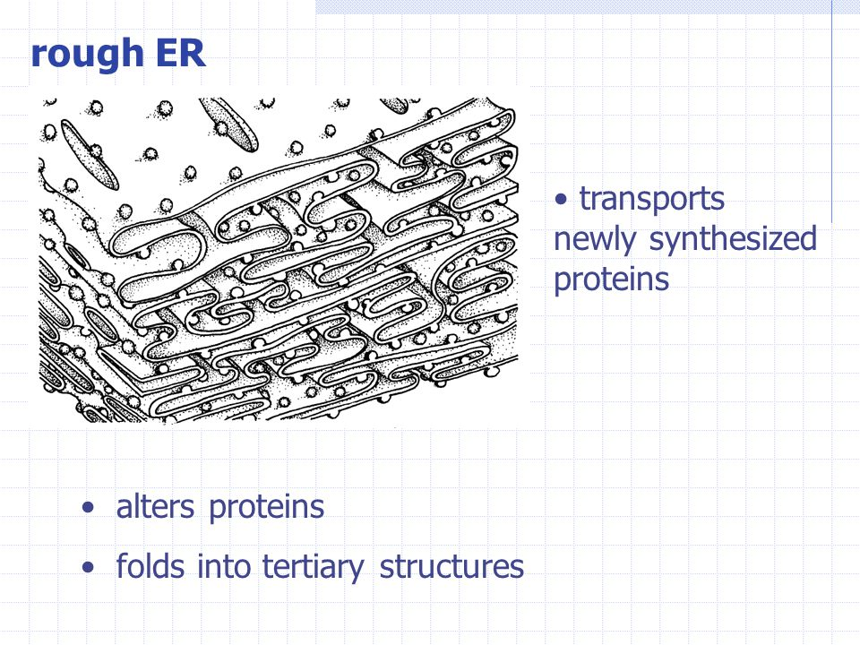 rough ER alters proteins folds into tertiary structures transports newly synthesized proteins