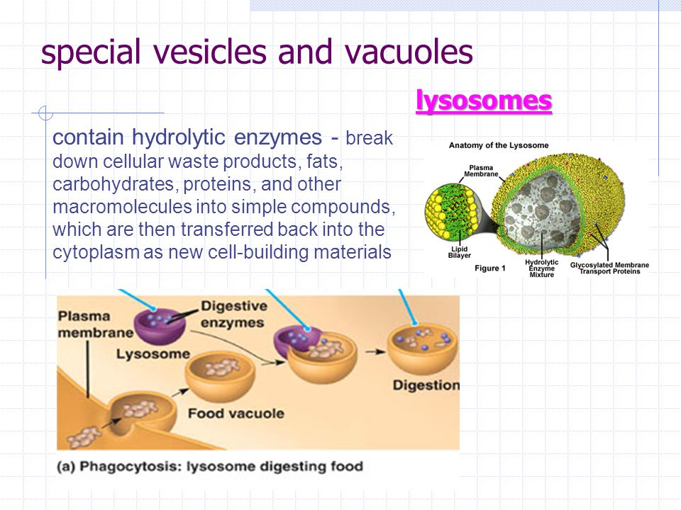 special vesicles and vacuoles lysosomes contain hydrolytic enzymes - break down cellular waste products, fats, carbohydrates, proteins, and other macromolecules into simple compounds, which are then transferred back into the cytoplasm as new cell-building materials