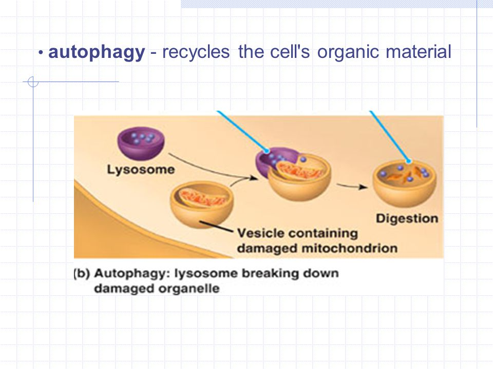 autophagy - recycles the cell s organic material