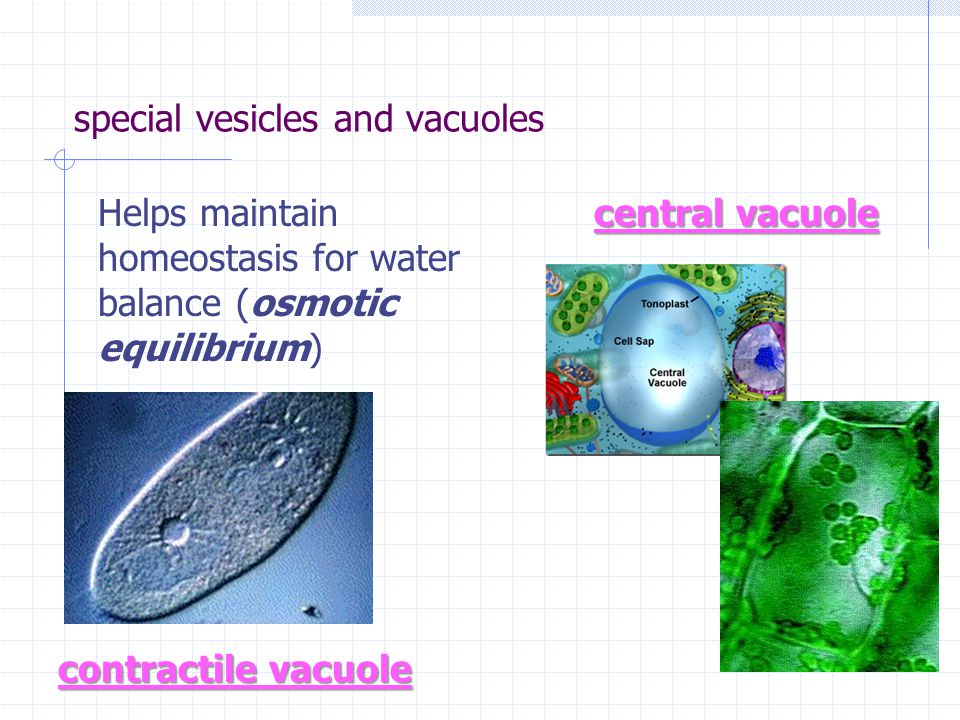 special vesicles and vacuoles central vacuole contractile vacuole Helps maintain homeostasis for water balance (osmotic equilibrium)