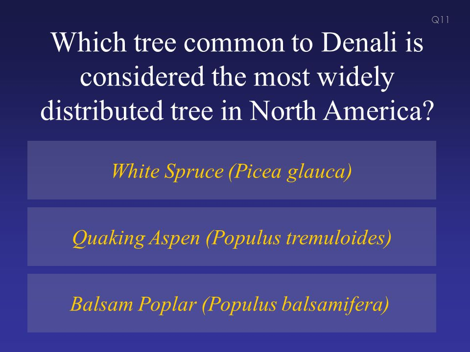 Which tree common to Denali is considered the most widely distributed tree in North America.