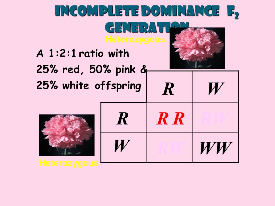 RRR RW W WW RW R W Heterozygous Incomplete Dominance F 2 generation A 1:2:1 ratio with 25% red, 50% pink & 25% white offspring Heterozygous