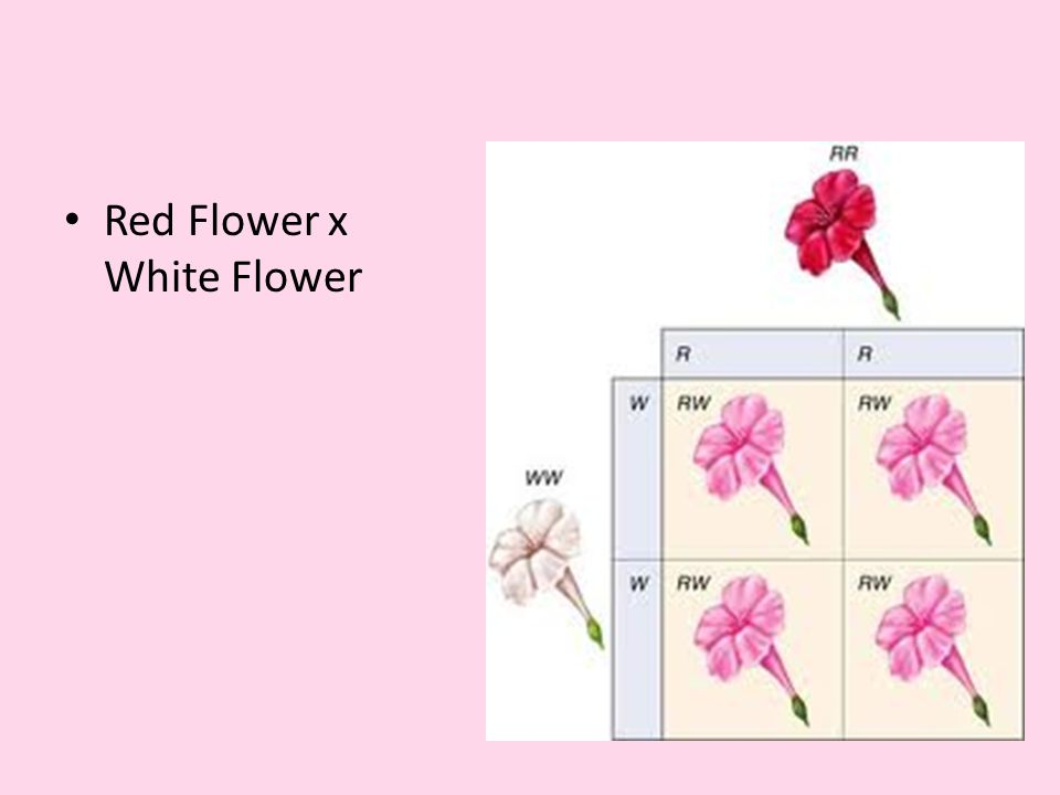 Red Flower x White Flower