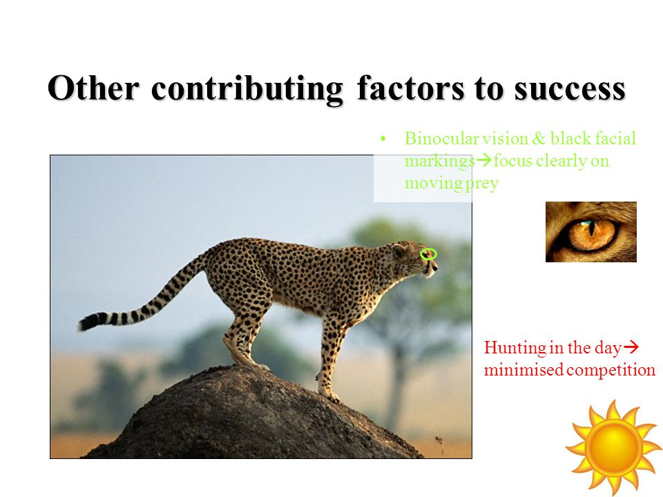 Other contributing factors to success Binocular vision & black facial markings  focus clearly on moving prey Hunting in the day  minimised competition