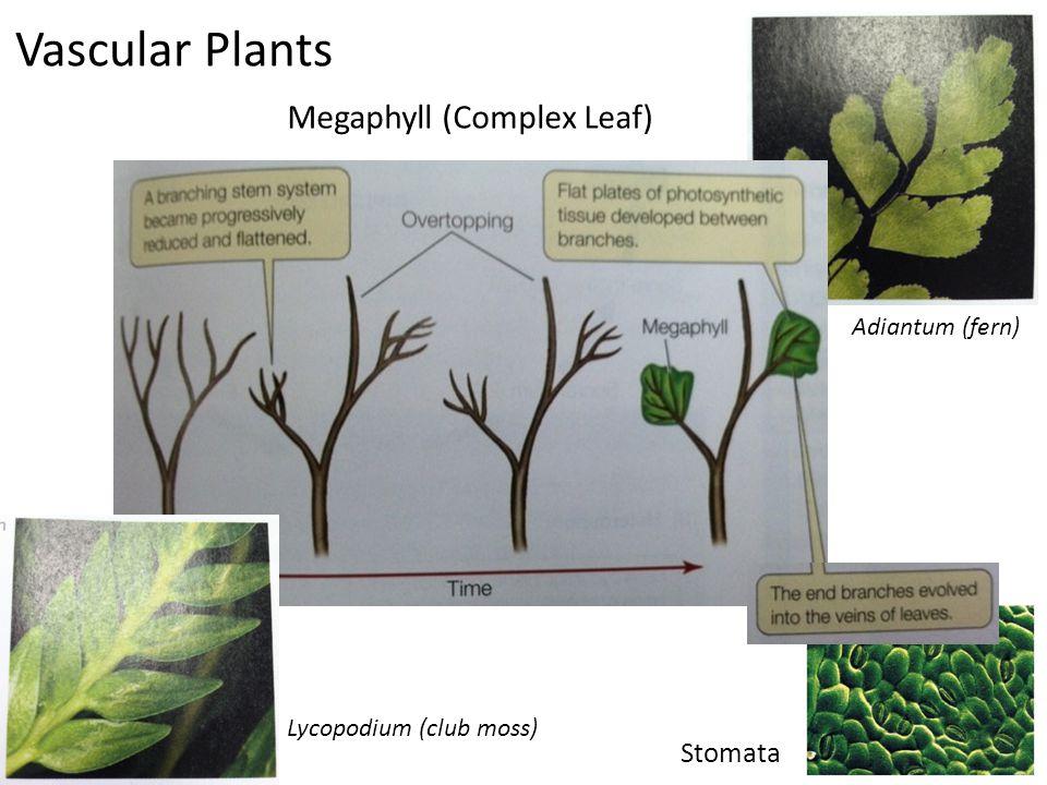 Vascular Plants Megaphyll (Complex Leaf) Adiantum (fern) Lycopodium (club moss) Stomata