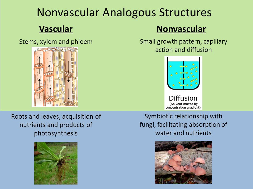 Nonvascular Analogous Structures VascularNonvascular Stems, xylem and phloem Small growth pattern, capillary action and diffusion Roots and leaves, acquisition of nutrients and products of photosynthesis Symbiotic relationship with fungi, facilitating absorption of water and nutrients