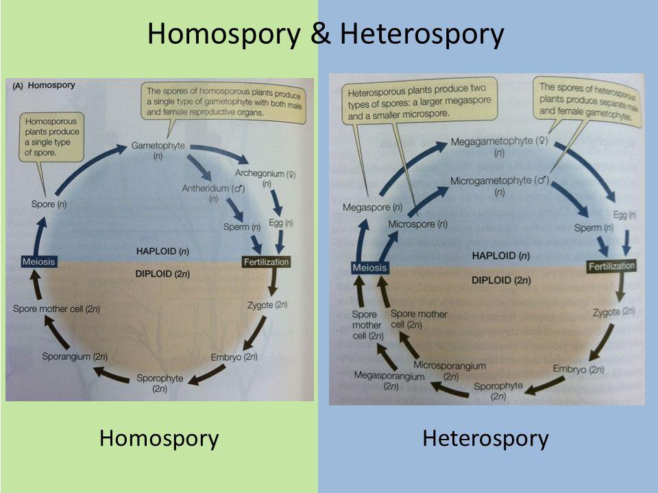 Homospory & Heterospory HeterosporyHomospory