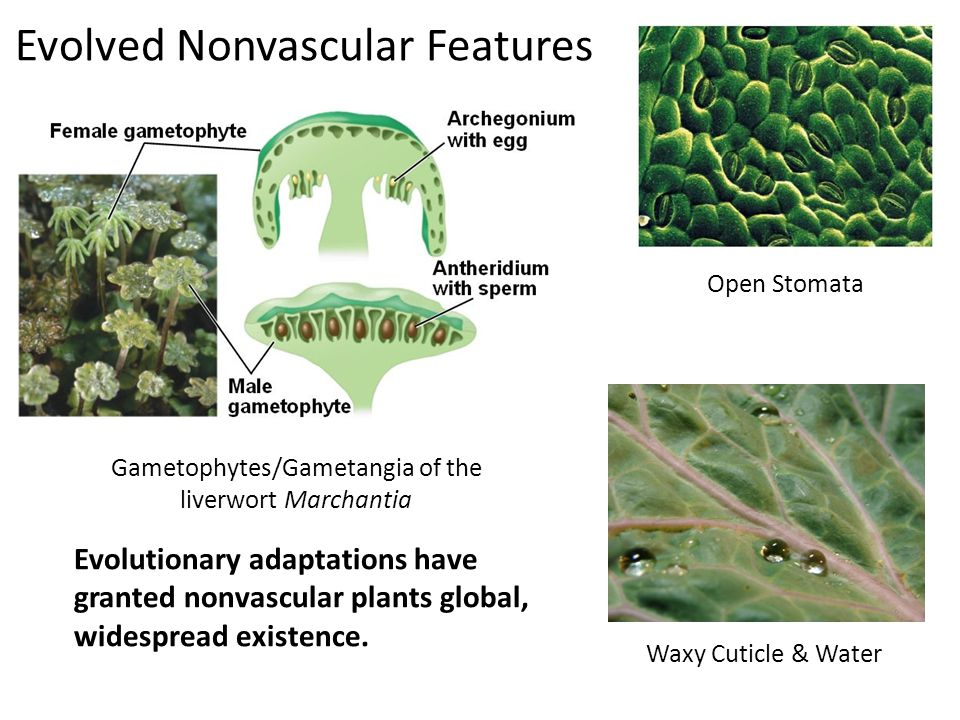 Evolved Nonvascular Features Evolutionary adaptations have granted nonvascular plants global, widespread existence.
