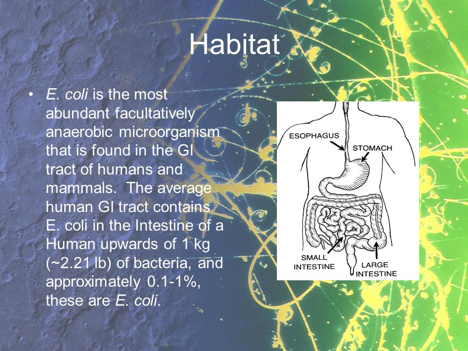Habitat E. coli is the most abundant facultatively anaerobic microorganism that is found in the GI tract of humans and mammals. The average human GI t