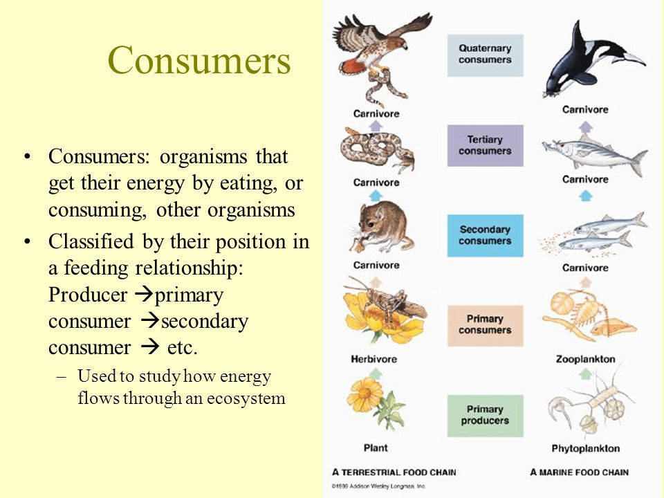 Consumers Consumers: organisms that get their energy by eating, or consuming, other organisms Classified by their position in a feeding relationship: