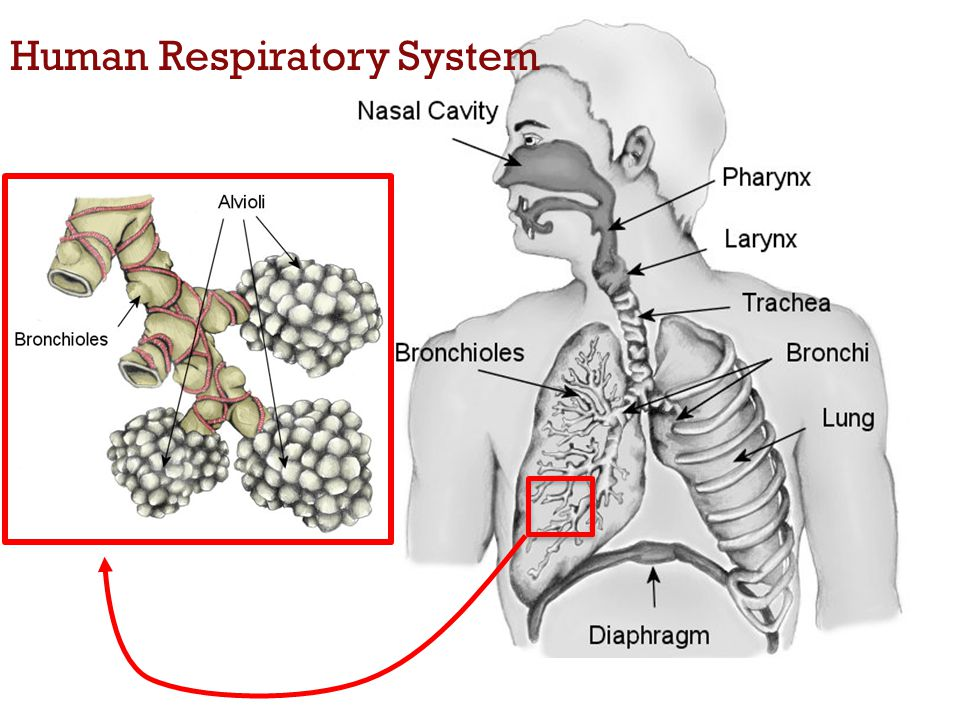 3 Human Respiratory System