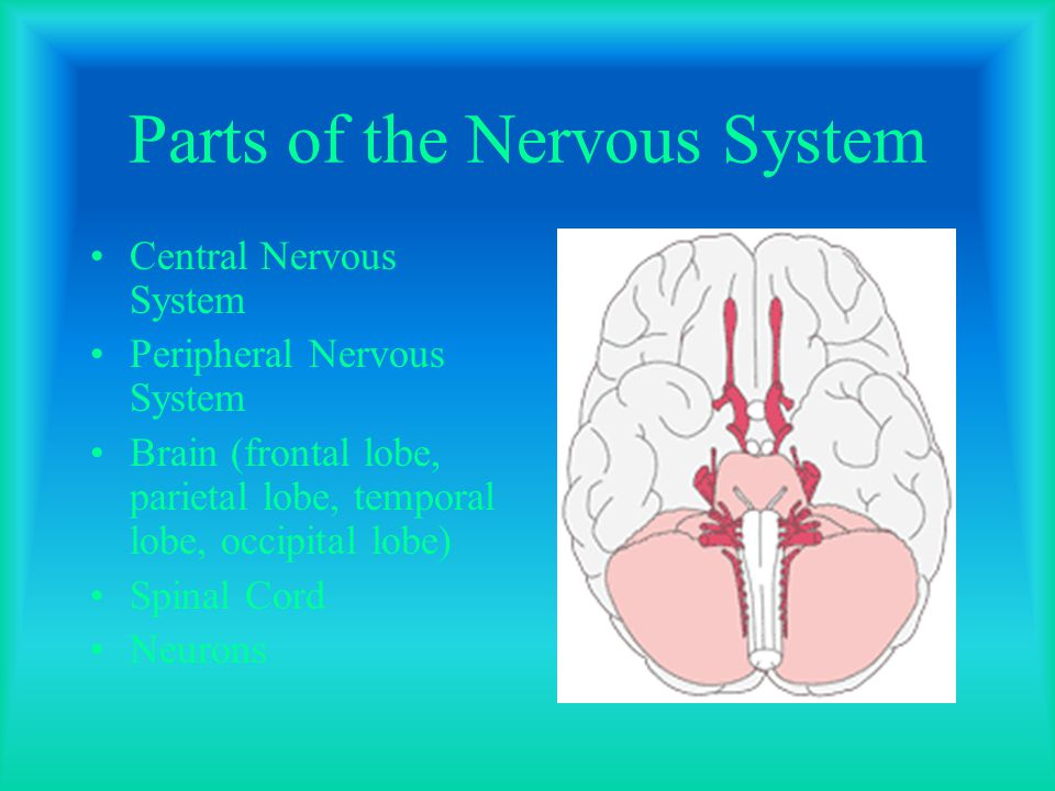 Parts of the Nervous System Central Nervous System Peripheral Nervous System Brain (frontal lobe, parietal lobe, temporal lobe, occipital lobe) Spinal Cord Neurons