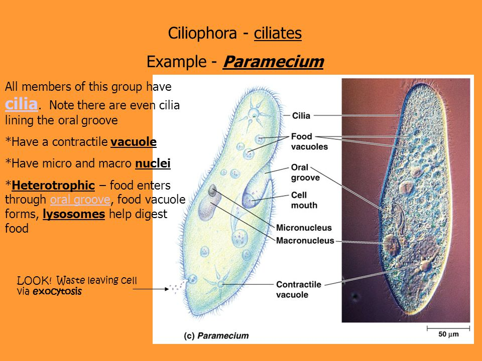 Ciliophora - ciliates Example - Paramecium All members of this group have cilia. Note there are even cilia lining the oral groove cilia *Have a contra