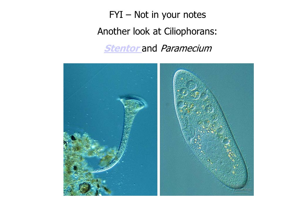 FYI – Not in your notes Another look at Ciliophorans: Stentor Stentor and Paramecium