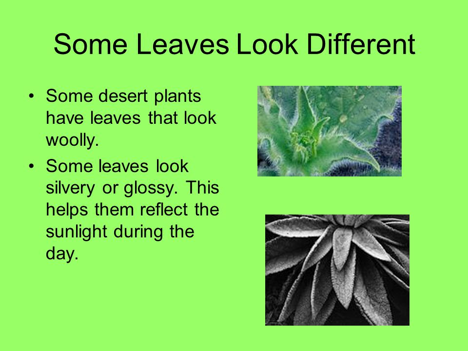 Some Leaves Look Different Some desert plants have leaves that look woolly. Some leaves look silvery or glossy. This helps them reflect the sunlight d
