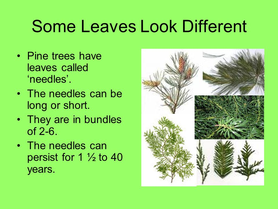 Some Leaves Look Different Pine trees have leaves called 'needles'. The needles can be long or short. They are in bundles of 2-6. The needles can pers