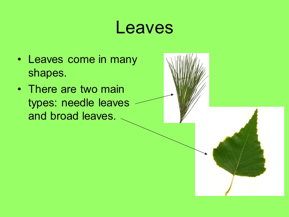 Leaves Leaves come in many shapes. There are two main types: needle leaves and broad leaves.