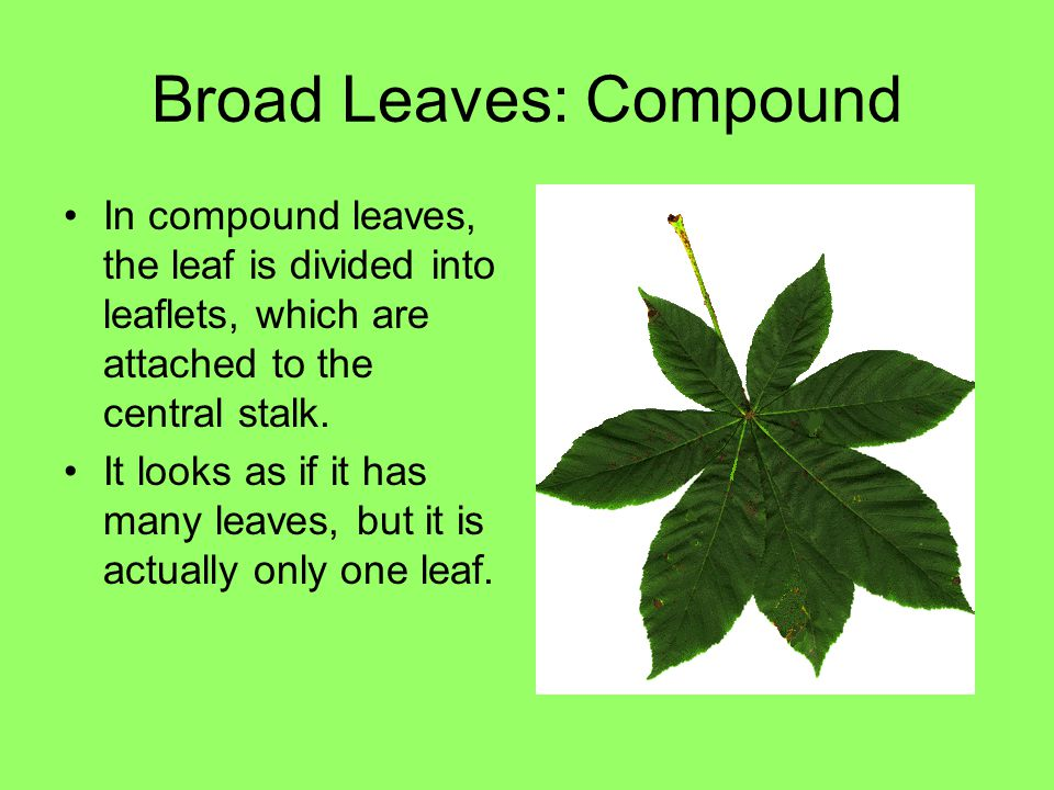 Broad Leaves: Compound In compound leaves, the leaf is divided into leaflets, which are attached to the central stalk. It looks as if it has many leav