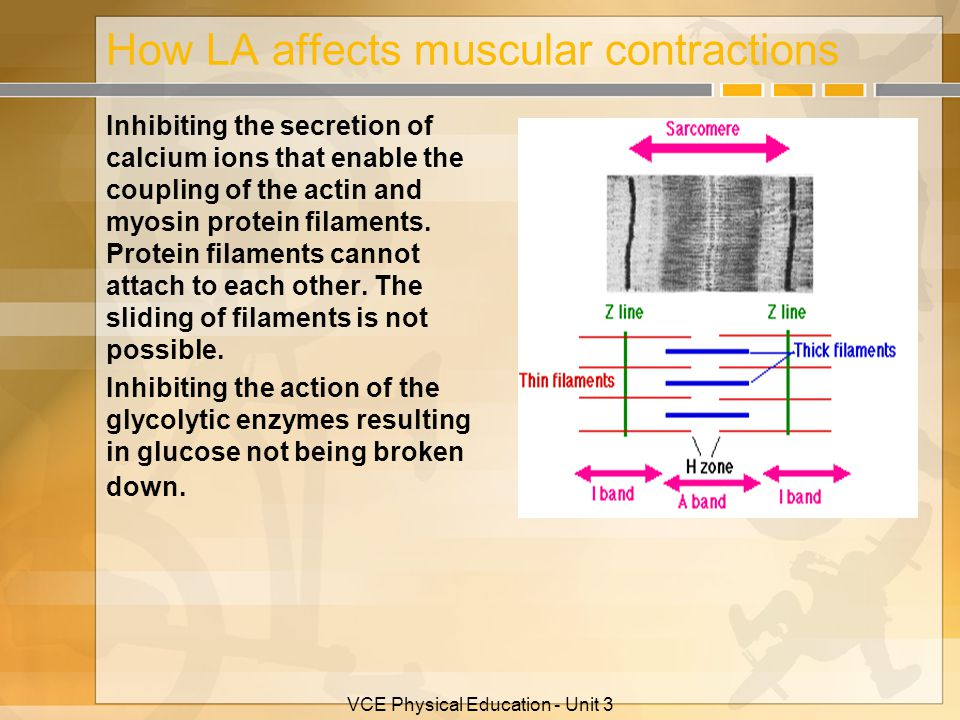 VCE Physical Education - Unit 3 How LA affects muscular contractions Inhibiting the secretion of calcium ions that enable the coupling of the actin an