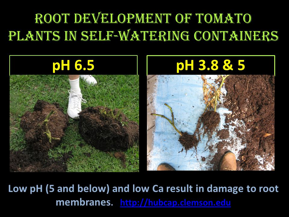 Root development in self- watering containers pH 6.2 5-gallon (healthy, white roots) pH 3.8 in 30 gallon tub (lack of healthy white roots)