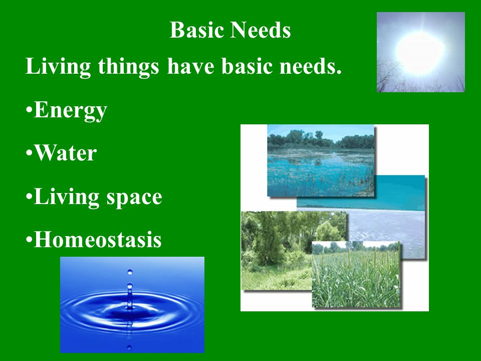 Basic Needs Living things have basic needs. Energy Water Living space Homeostasis
