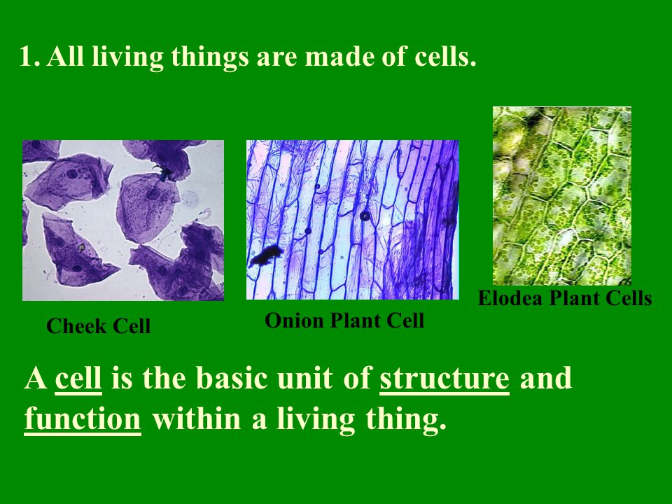 1. All living things are made of cells. Cheek Cell Elodea Plant Cells Onion Plant Cell A cell is the basic unit of structure and function within a liv