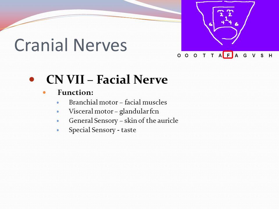 Cranial Nerves CN VII – Facial Nerve Function: Branchial motor – facial muscles Visceral motor – glandular fcn General Sensory – skin of the auricle S