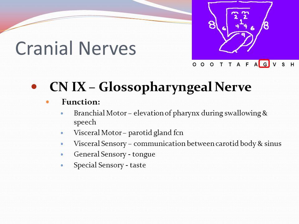 Cranial Nerves CN IX – Glossopharyngeal Nerve Function: Branchial Motor – elevation of pharynx during swallowing & speech Visceral Motor – parotid gla