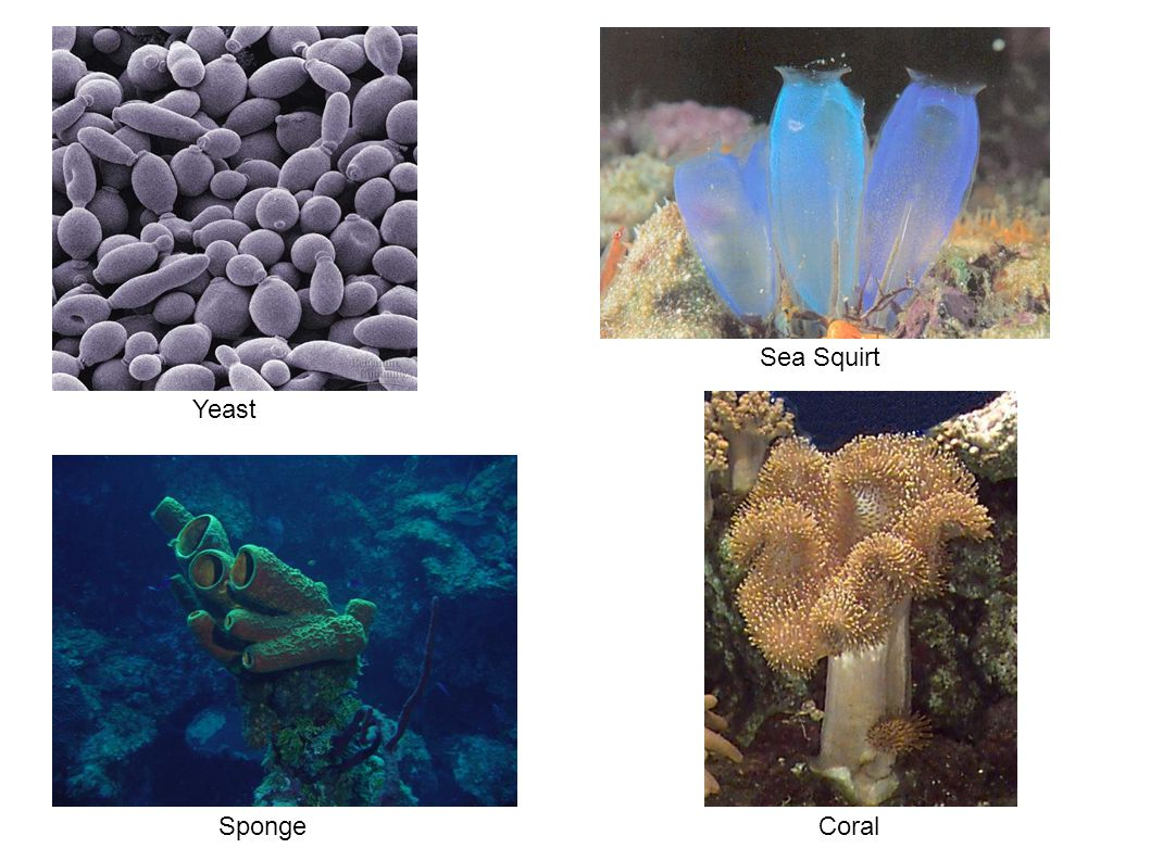 Yeast Sea Squirt SpongeCoral