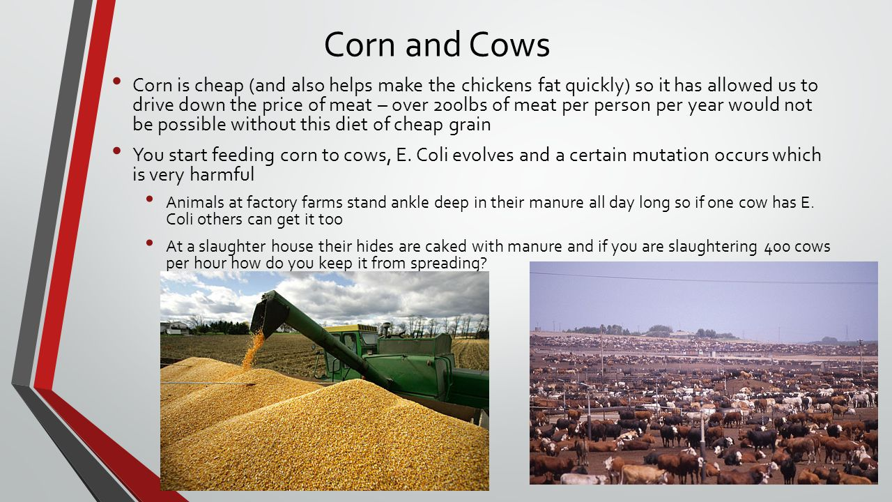 Corn and Cows Corn is cheap (and also helps make the chickens fat quickly) so it has allowed us to drive down the price of meat – over 200lbs of meat per person per year would not be possible without this diet of cheap grain You start feeding corn to cows, E.