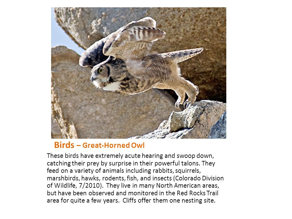 Birds – Great-Horned Owl These birds have extremely acute hearing and swoop down, catching their prey by surprise in their powerful talons. They feed