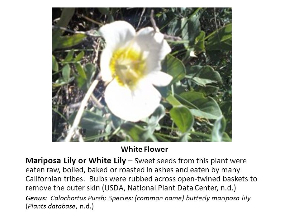 White Flower Mariposa Lily or White Lily – Sweet seeds from this plant were eaten raw, boiled, baked or roasted in ashes and eaten by many Californian tribes.