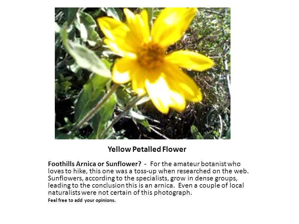 Yellow Petalled Flower Foothills Arnica or Sunflower.