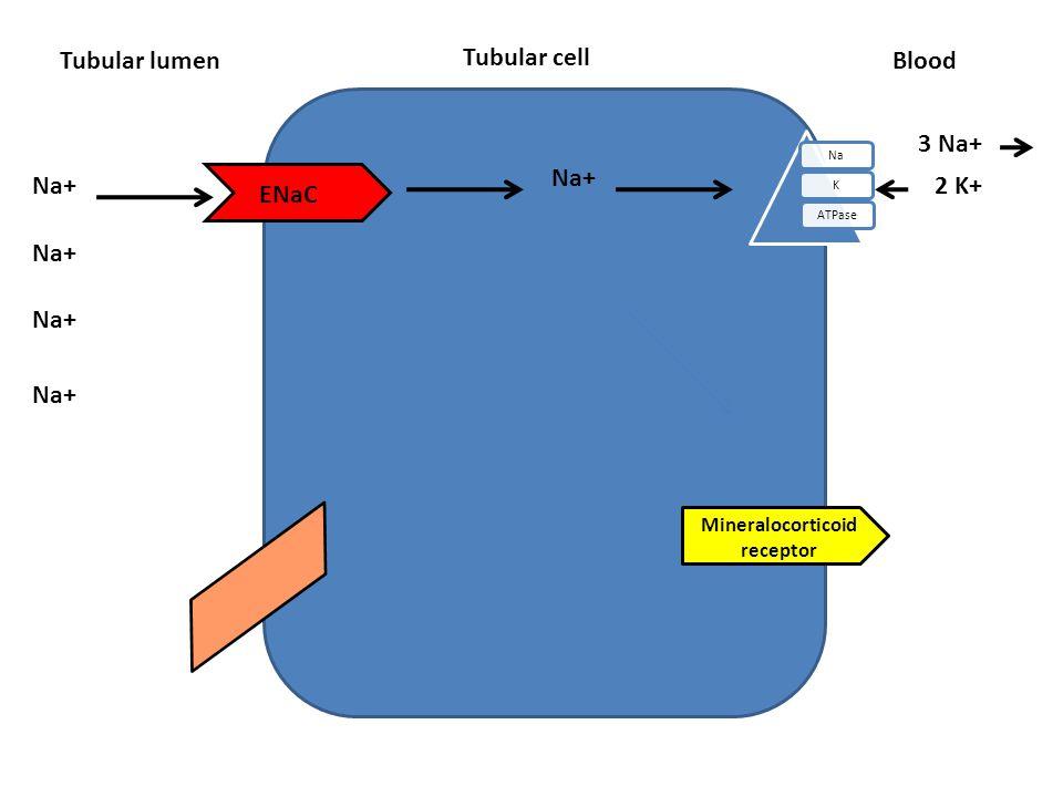 Tubular cell Tubular lumen NaKATPase Blood ENaC Na+ 3 Na+ 2 K+ Na+ Mineralocorticoid receptor